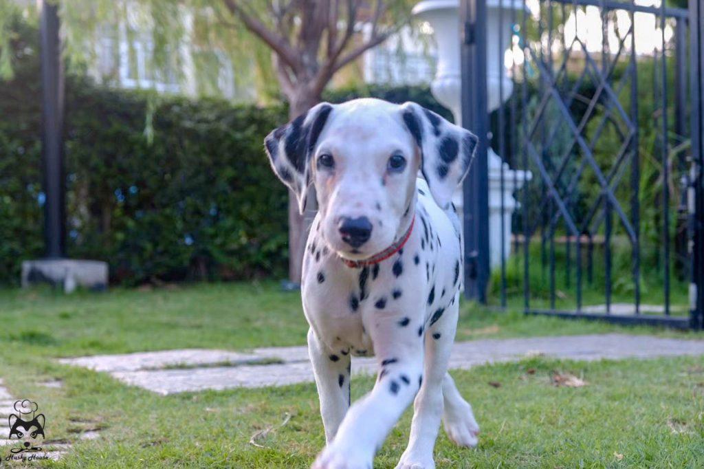 ดัลเมเชียน (Dalmatian)
